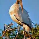 Adult Wood Stork by Frank Bibbins