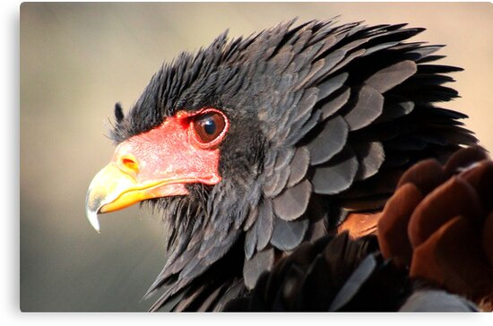 Bateleur magic by Greg Parfitt