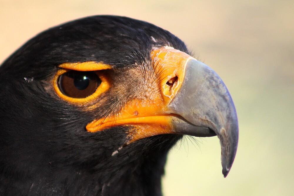 Verraux's or Black eagle.  by Greg Parfitt