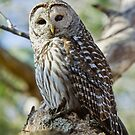 Barred Owl by Wayne Wood
