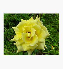 Yellow Rose Wild Photographic Print