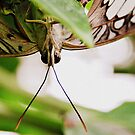 Butterfly Eyes by SarahMistake
