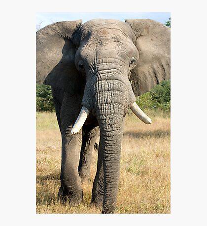 Bull Elephant In Full Musth Photographic Print