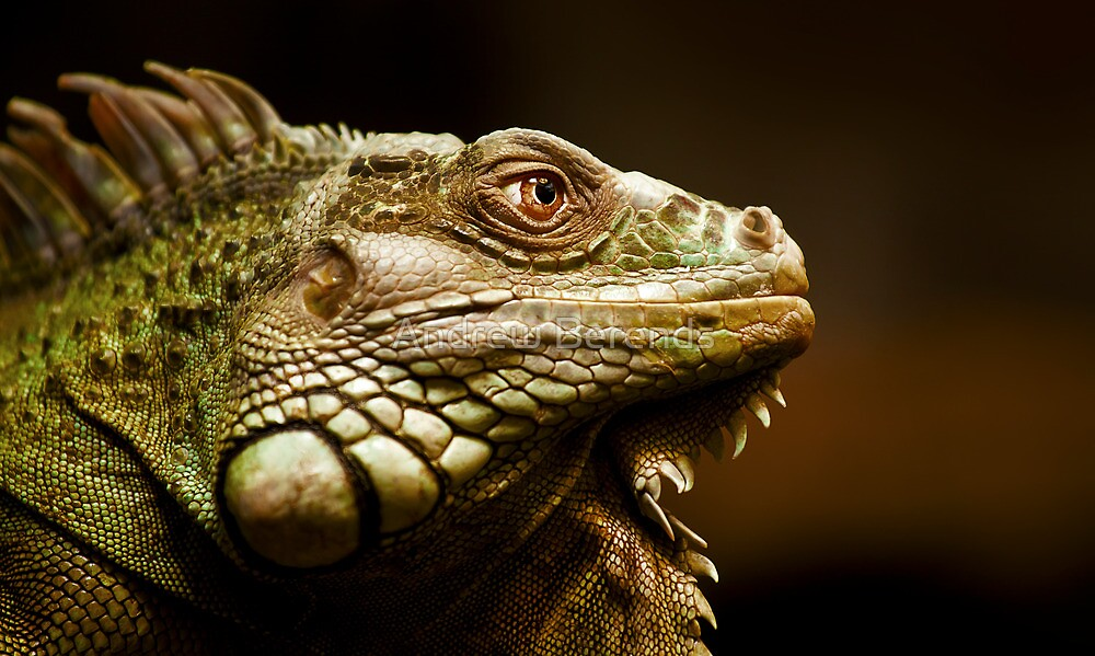 Giant Iguana by Andrew Berends