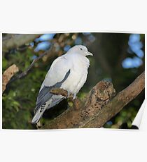 Torresian Imperial Pigeon Poster