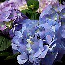 Endless Summer Hydrangeas by Marjorie Wallace