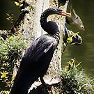 Anhinga with a Fish by Paulette1021