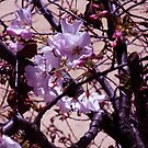 cherry trees new flowers by califpoppy1621