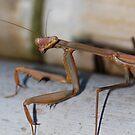Macro mantis by Karl David Hill