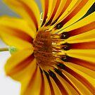 Daisy wheel stripes by Chris Brunton