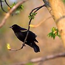 Redwing Black Bird  by Lori D Myers