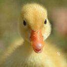 Fluffy Duck by TheaShutterbug