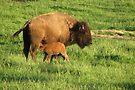 Spring Calf by NatureGreeting Cards ©ccwri