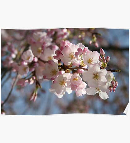 DC Spring - THE Cherry Blossoms Poster