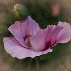Pink Poppy by AnnDixon