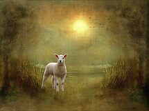 The Lamb by Aase