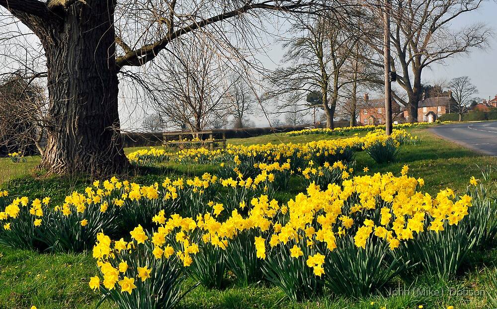 A Village of daffodils by John (Mike)  Dobson