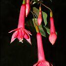 Fuchsia Billy Green #2 by Bev Pascoe