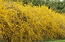 Forsythia ~ Yellow Bells by barnsis
