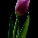 Spring Tulip by toby snelgrove  IPA