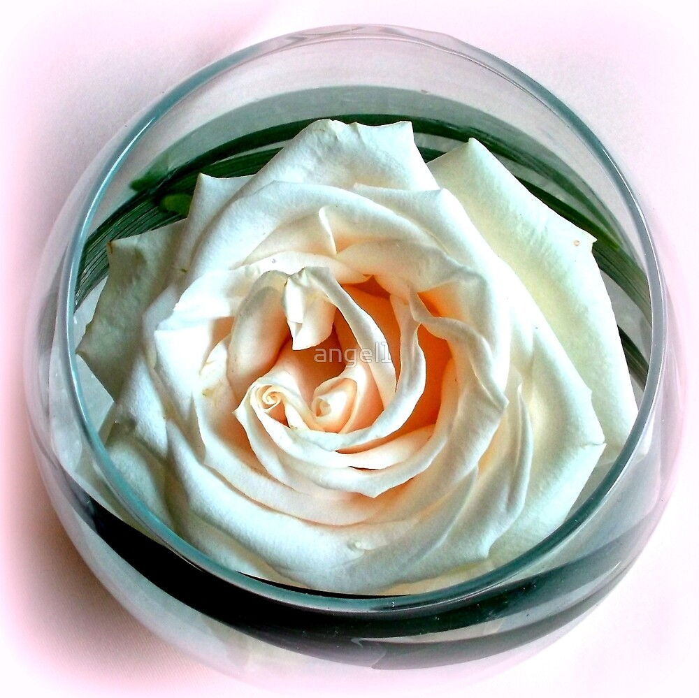 White Rose in Glass by ©The Creative  Minds