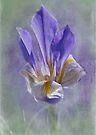 wild iris by Teresa Pople