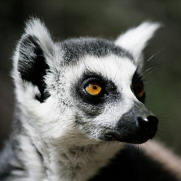 Ringtail Lemur by AlfSharp