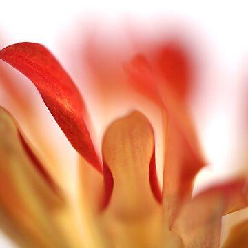 orange petals by AlfSharp