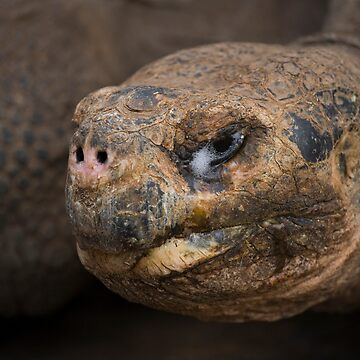 Galapagos Tortoise by AlfSharp