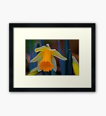 Wild Daffodil Trumpet and Head. Low Coniscliffe, England Framed Print