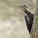 Pileated Woodpecker by Wayne Wood