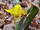 Trout Lily - Erythronium americanum by MotherNature
