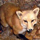 Beautiful Foxy Eyes at Night by Jane Neill-Hancock