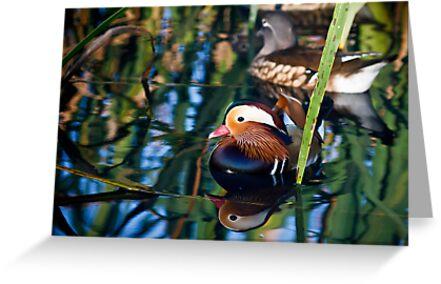 Reflections of a Mandarin Duck by Silken Photography