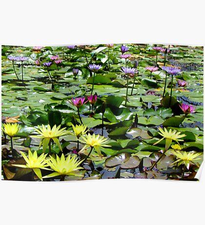Waterlily Pond - Wallis Creek Water Gardens, Mulbring Poster