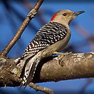 Red Bellied Woodpecker (Alt) by Anthony Roma