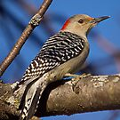 Red Bellied Woodpecker by Anthony Roma