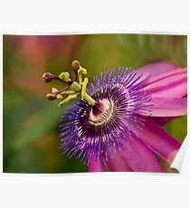 Passion flower in pink and purple Poster