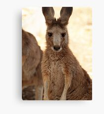 Kangaroos up Close Canvas Print