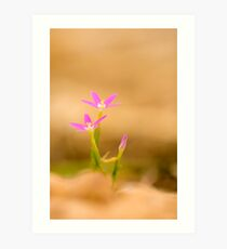 Centaurium erythraea is a species of flowering plant in the gentian family known by the common names common centaury and European centaury.  Art Print