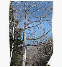 The Old Black Poplar Tree Poster