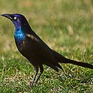 Grackle 3 by Anthony Roma