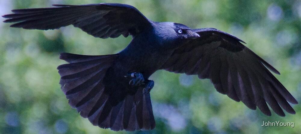 Black Bird by JohnYoung