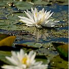 Water lily - Chaffey's Locks, Ontario by Tracey  Dryka