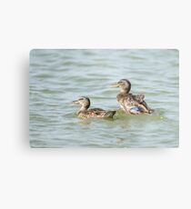 Female Mallard (Anas platyrhynchos) (right) and juvenile swimming in the water.  Metal Print