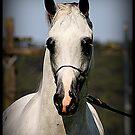 White Arabian Stallion by SylanPhotos