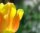 Tulip Sparkle by Elaine Manley