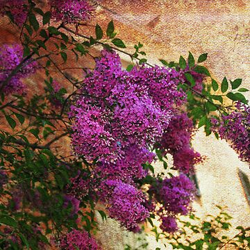 Tuscany Lilacs  by Lucindawind