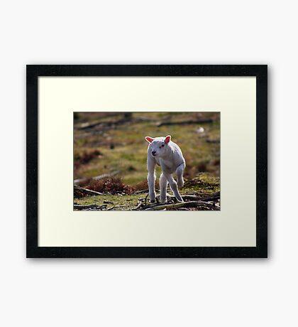 Joy of A Lamb in Spring Framed Print