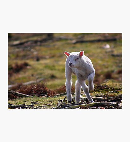 Joy of A Lamb in Spring Photographic Print